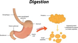 what is stomach acid   Westwood Wellness
